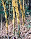 Bambusa vulgaris var. vittata