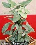 Philodendron davidsonii