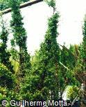 Juniperus communis ´Stricta´