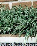 Chlorophytum comosum ´Vittatum´