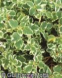 Plectranthus coleoides ´Marginatus´