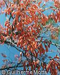 Erythrina verna