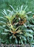 (COVA8) Codiaeum variegatum ´Brasil´