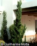 Juniperus chinensis ´Kaizuka´