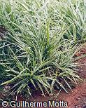 Ophiopogon jaburan ´Vittatus´