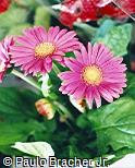 Gerbera jamesonii ´Tommy´