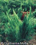 Asparagus densiflorus ´Setaceus Pyramidale´