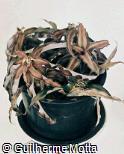Cryptanthus bivittatus ´Chocolate Soldier´