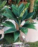 Chamaedorea ernesti-augusti