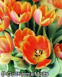 Tulipa gesneriana ´Andrem´