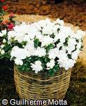 Rhododendron simsii ´Paloma´