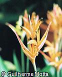 Heliconia psittacorum ´Choconiana´