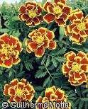Tagetes patula ´Little Hero Fire´