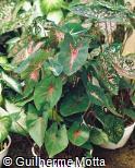 (CABI14) Caladium bicolor ´Rosebud´