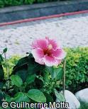 Hibiscus rosa-sinensis ´Corella´