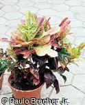 Codiaeum variegatum ´Corot´