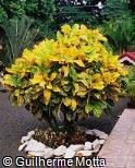 Codiaeum variegatum ´John Bender´