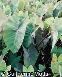 Colocasia esculenta ´Black Ruffles´