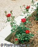 Rosa chinensis ´Happy Wanderer´