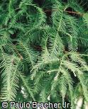 Taxodium distichum - Taxodiaceae
