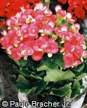 Begonia  ´Netja Dark´