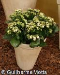 (KABL19) Kalanchoe blossfeldiana ´Monroe´