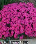 (KABL20) Kalanchoe blossfeldiana ´Guntur´