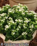 (KABL21) Kalanchoe blossfeldiana ´Pluto´