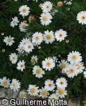 Argyranthemum frutescens ´Margaret´