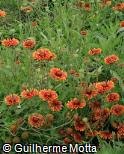 Gaillardia × grandiflora ´Arizona Sun´