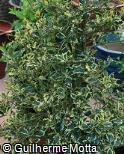 Ilex aquifolium ´Silver Queen´