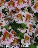 Schizanthus wisetonensis