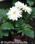 Gerbera jamesonii ´Igloo´