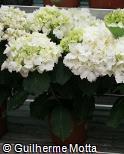 (HYMA2) Hydrangea macrophylla ´Schneeball´