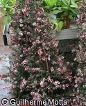 (LESC3) Leptospermum scoparium ´Martinii´