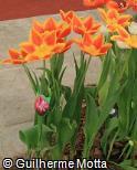 (TUKE) Tulipa  ´Kees Nelis´
