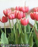 (TUSH) Tulipa  ´Show Winner´