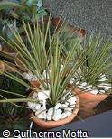 (AGST2) Agave stricta
