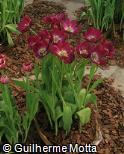 (TUGE5) Tulipa gesneriana ´Negrita´