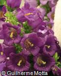 (CAME3) Campanula medium ´Champion Blue´