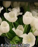 (TUWH) Tulipa  ´White Dream´