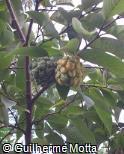 "(ROSA) Rollinia salicifolia"""