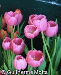 (TUGE6) Tulipa gesneriana ´Purple Prince´