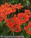 (TUIL) Tulipa  ´Ile de France´