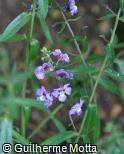 (ANAN18) Angelonia angustifolia