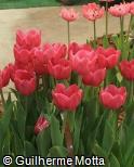 (TUPR) Tulipa  ´Prominence´