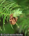 (CULA) Cunninghamia lanceolata