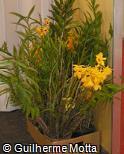 (DEOC) Dendrobium fimbriatum