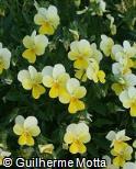 (VICO2) Viola cornuta ´Lemon Chiffon´