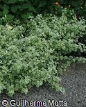 Helichrysum petiolare ´Variegatum´